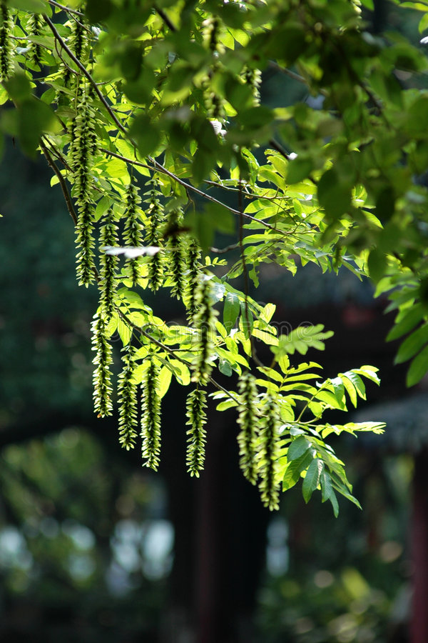 Download Pterocarya stock image. Image of tree, outdoor, sequence - 7152459