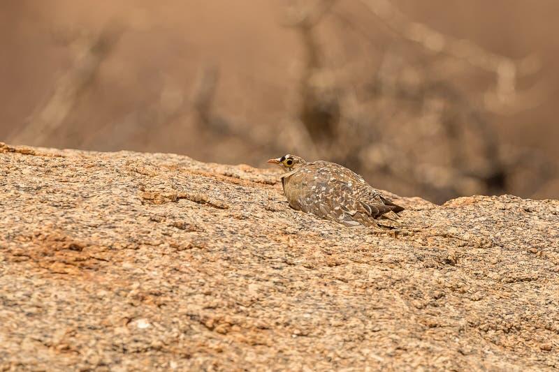 Pterocles Dobro-unido Bicintus do Sandgrouse fotos de stock royalty free