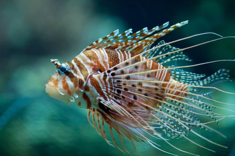 Pterois antennata fish or Lionfish. Closeup stock photos
