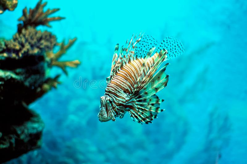 Pterois Fire-Fish Devil-Fish under water. Pterois Fire-Fish Devil-Fish under clear water of the ocean stock image