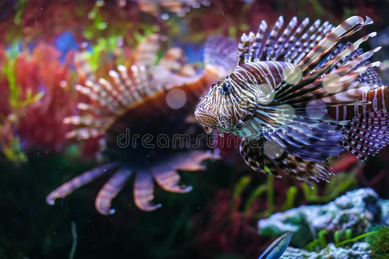 Pterois volitans 红色蓑鱼Pterois volitans水族馆鱼 美丽和危险蓑鱼 库存照片