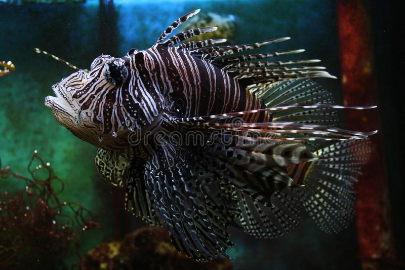 Pterois volitans, Lionfish, ζωολογικός κήπος του Πίλζεν στοκ εικόνες με δικαίωμα ελεύθερης χρήσης