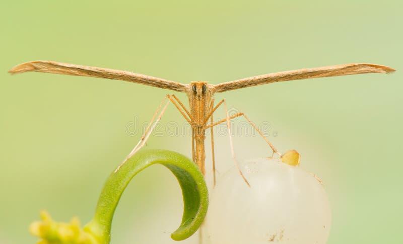 Pterophoridae στοκ φωτογραφία με δικαίωμα ελεύθερης χρήσης
