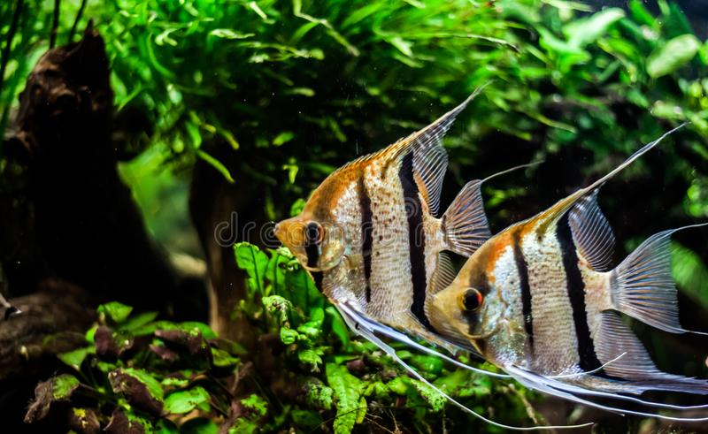 Pterophyllum scalare stock images