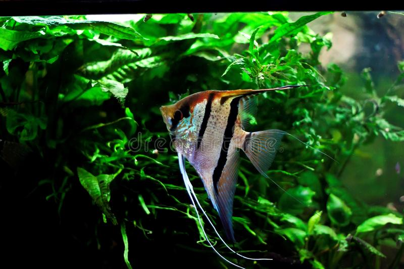 Pterophyllum scalare royalty free stock photography