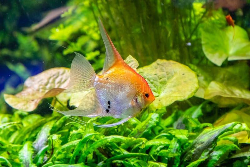 Pterophyllum scalare fish stock images
