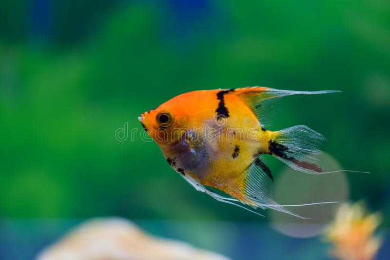 Pterophyllum scalare. One orange scalar swims in a transparent aquarium on a green background royalty free stock photos