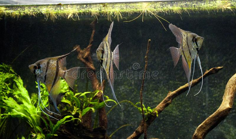 Pterophyllum scalare Rio Nanay royalty-vrije stock afbeelding