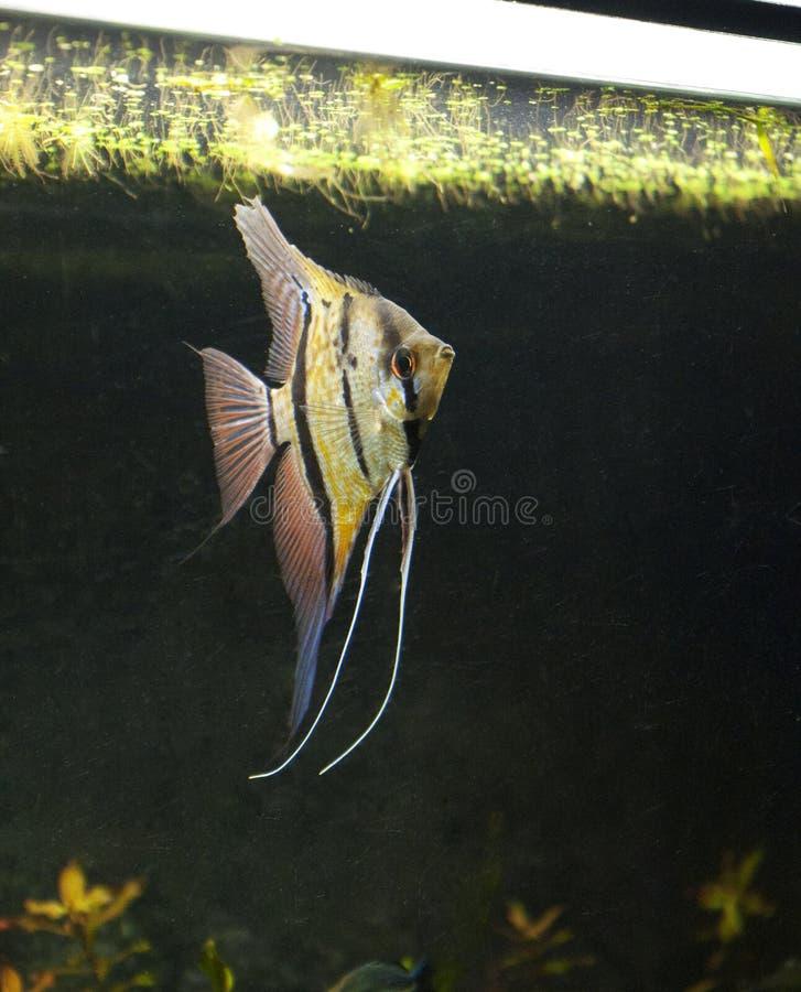 Pterophyllum scalare Rio Nanay royalty-vrije stock foto