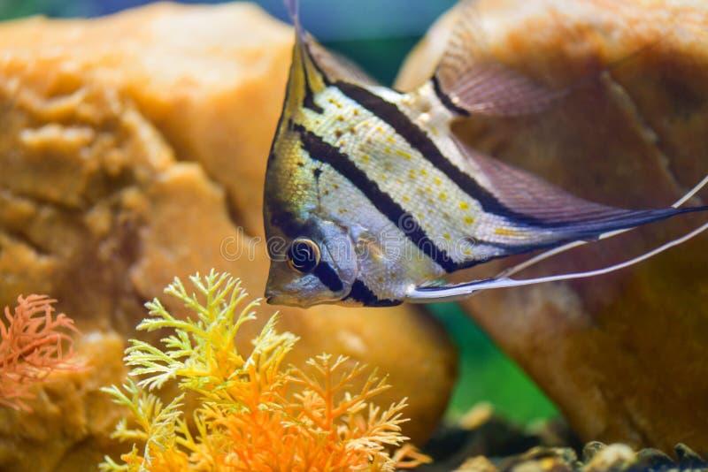 Pterophyllum scalare Zeeëngel Één grijze gestreepte zeeëngel zwemt in een transparant aquarium onder rotsen royalty-vrije stock afbeelding