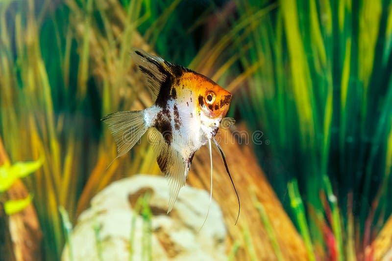 Pterophyllum scalare zwemt in het aquarium De vissen sluiten omhoog royalty-vrije stock afbeelding