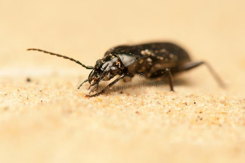 Pterostichus Niger zdjęcie stock