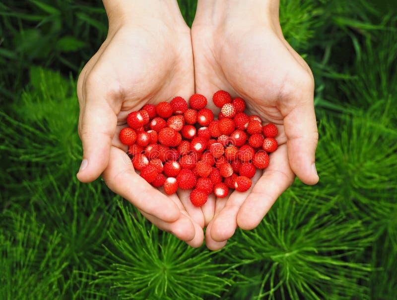Pu?ado de fresas salvajes rojas en manos fotografía de archivo