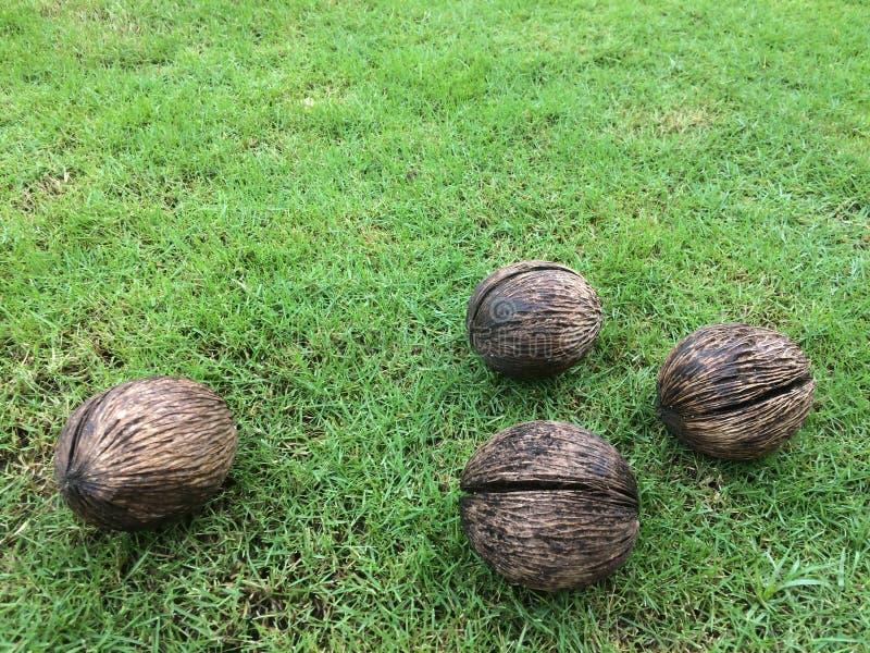 Puanteur-puanteur sèche d'odollam de cerbera, othalanga, arbre de suicide employé pour faire les objets façonnés décoratifs photographie stock libre de droits