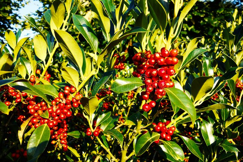 PUB.DOM.DED. Pixa digionbew 18- 11,12,13-09-16 Berries in green leaves LOW RES royalty free stock photography