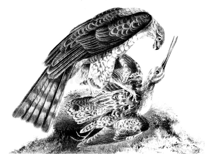 Eurasian sparrowhawk. The hunter and the victim. Public domain. From the book: Bulletin of the natural Sciences. Moscow 1859 royalty free illustration