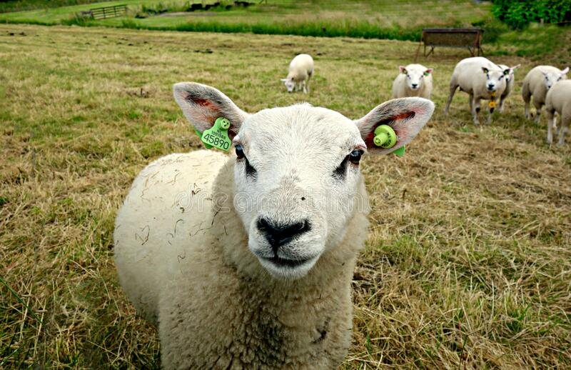 PUBLIC DOMAIN DEDICATION - digionbew 9. 19-06-16 - Sheep in the meadow LOW RES DSC01228 royalty free stock image
