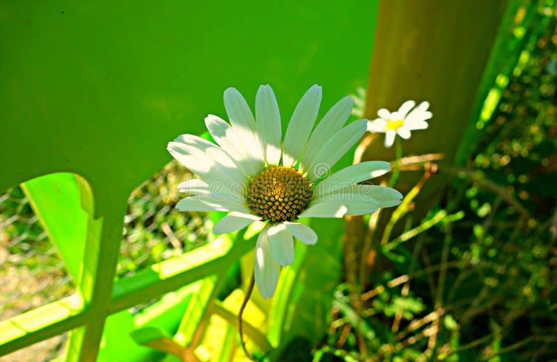 PUBLIC DOMAIN DEDICATION - Pixabay- digionbew 11. 03-0-16 DaisY at green fence LOW RES DSC04139 stock photography