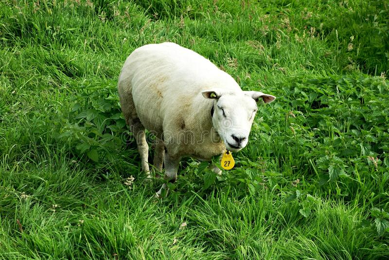 PUBLIC DOMAIN DEDICATION - pixabay - digionbew 11. 06-07-16 Winking Sheep LOW RES DSC04469 stock image