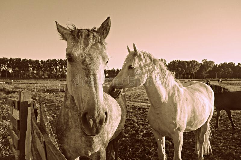 PUBLIC DOMAIN DEDICATION - Pixabay-Pexels digionbew 15. 12-08-16 Two horses at the fence LOW RES DSC09027 royalty free stock images