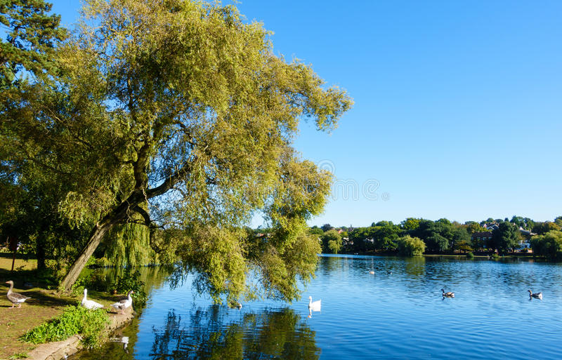 Public Roath Park Lake. With the reflection of a beautiful tree in the water and swans swimming in the lake stock photo