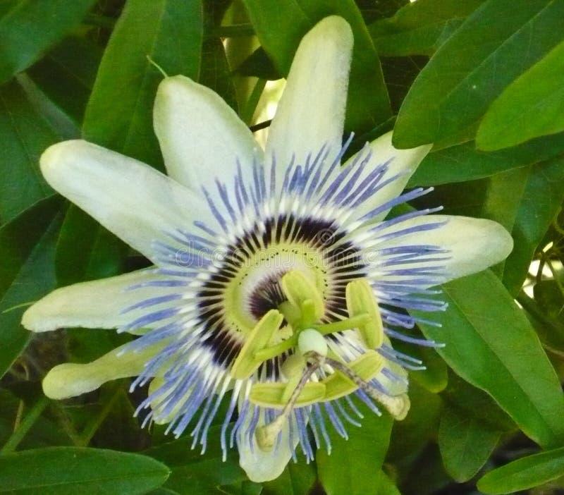 Publicación anual duradera de la Florida de la flor impar del iris imagenes de archivo