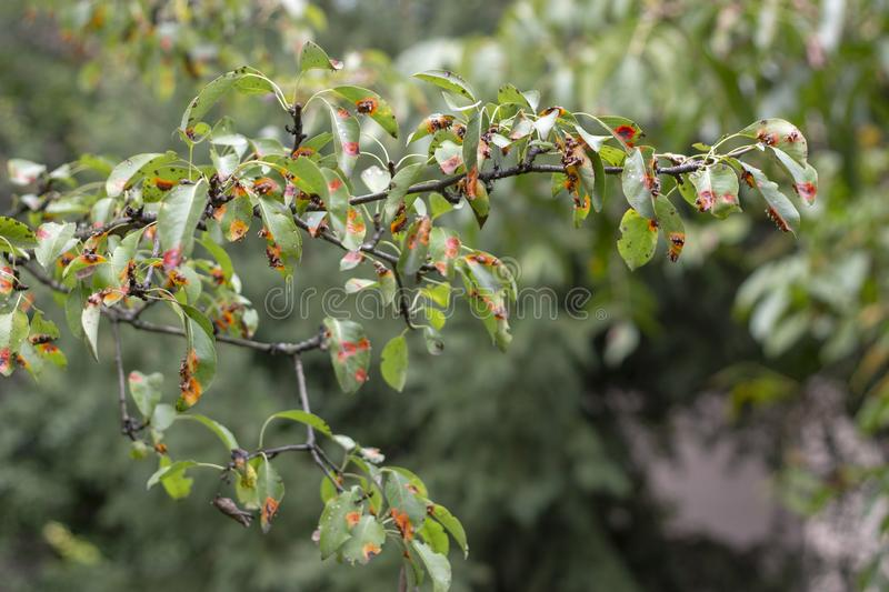 Pucciniales Rust on pear leaves. Dangerous disease that can destroy the entire garden royalty free stock images