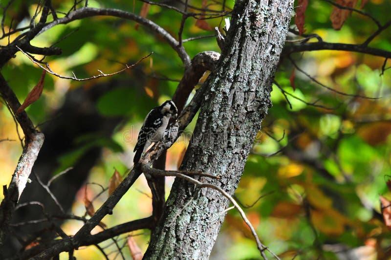 Puchaci dzięcioła Picoides pubescens na drzewie fotografia stock