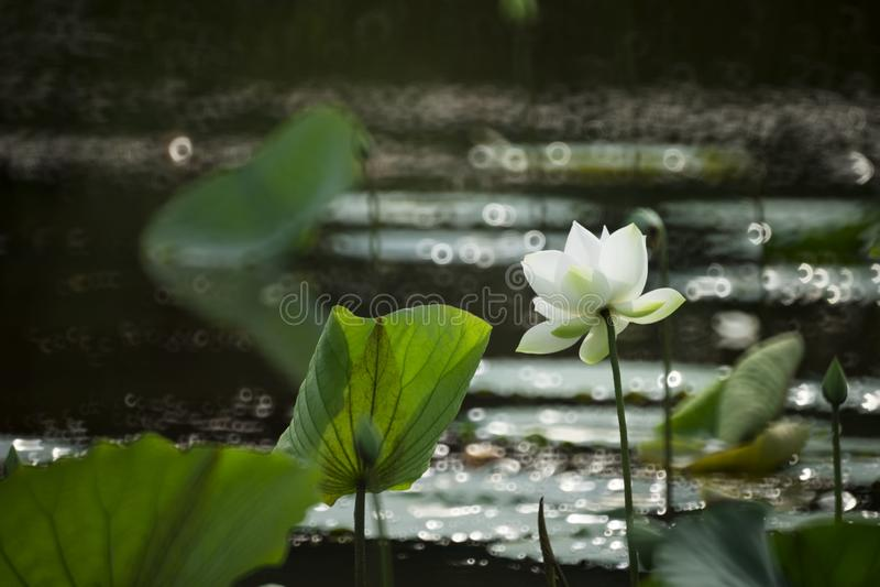 Puchong, lótus brancos, pureza, calma, paz fotografia de stock