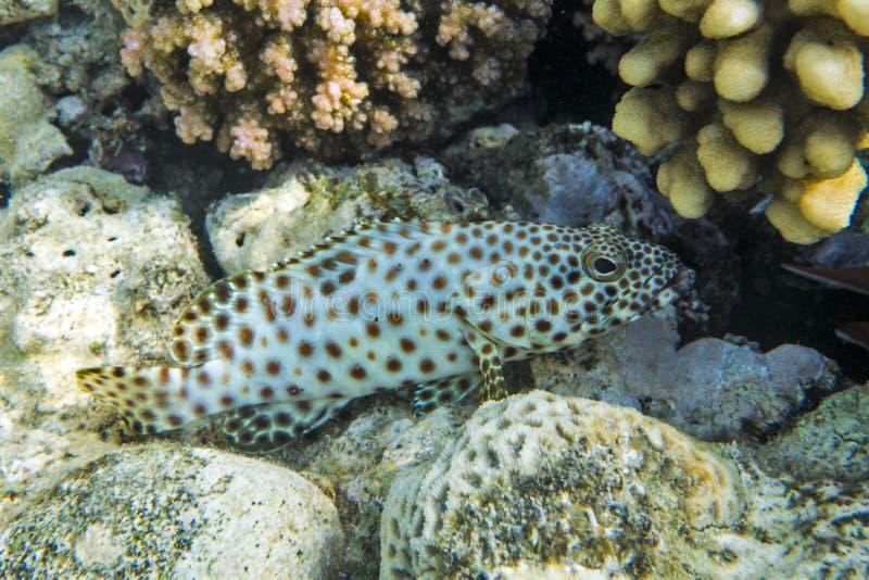 Puckelrygghavsaborre (Cromileptes altivelis) på korallreven - Röda havet royaltyfri bild