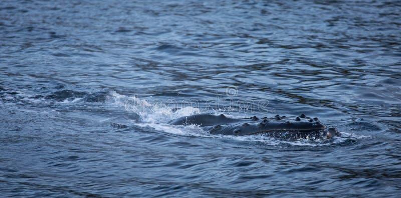 Puckelryggval som kringgår yttersidan av vattnet royaltyfri bild