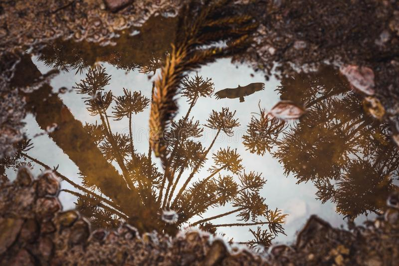 The puddle reflecting trees and a bird. A puddle on the ground reflecting auracaria trees and a flying bird royalty free stock photography