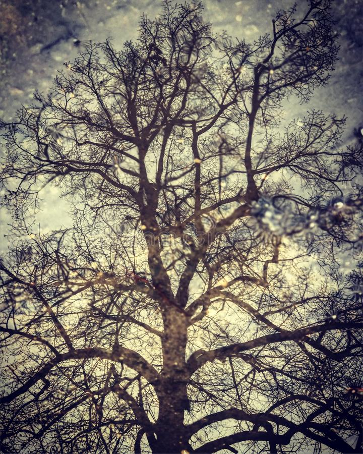 A beautiful leafless tree is reflected in a stoic puddle. A puddle is a small accumulation of liquid, usually water, on a surface. It can form either by pooling stock photography