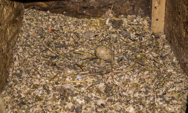 Pudełko z trociny dokąd karmazynki kłaść jajka fotografia royalty free