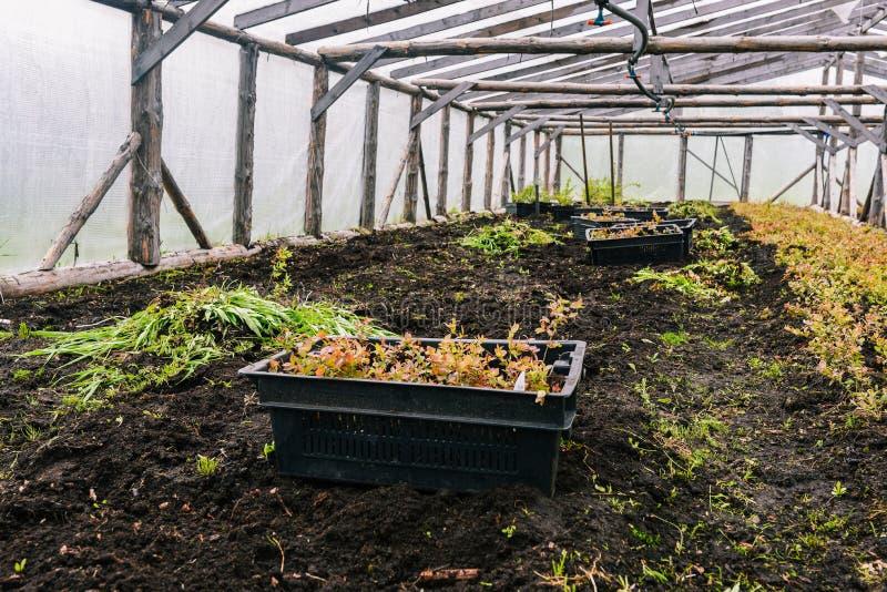 Pudełka z rozsadami w szklarni Rośliien rozsady dla zasadzać Młode rośliny w czarnych pudełkach R rozsadę i zasadzający zdjęcie royalty free