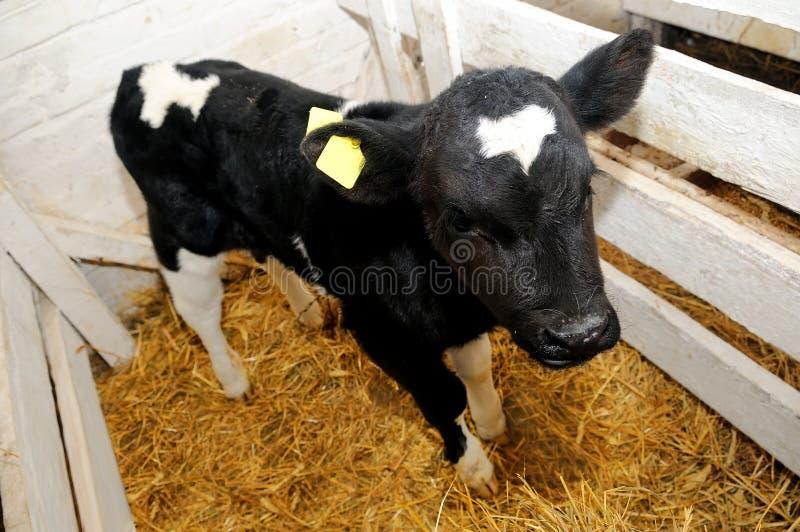 pudełkowatej łydki krowy mała słoma fotografia royalty free