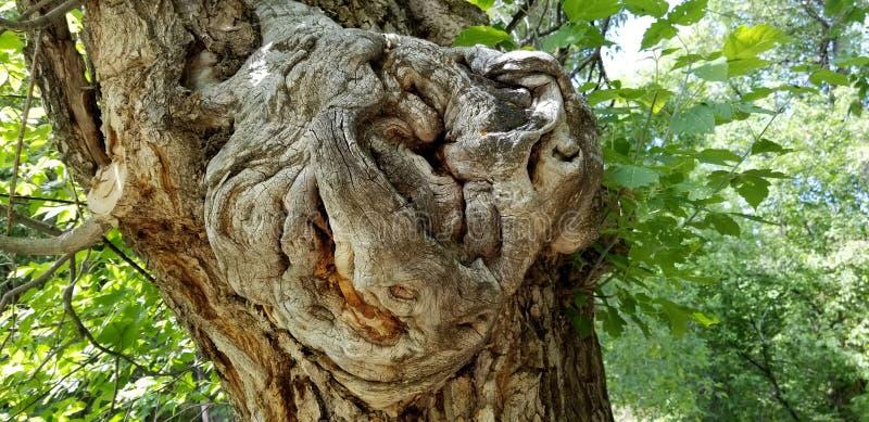 Pudełkowatej starszej osoby Drzewny Burl Drewniany Północny Utah fotografia royalty free