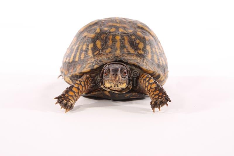 pudełkowaty żółw zdjęcie royalty free