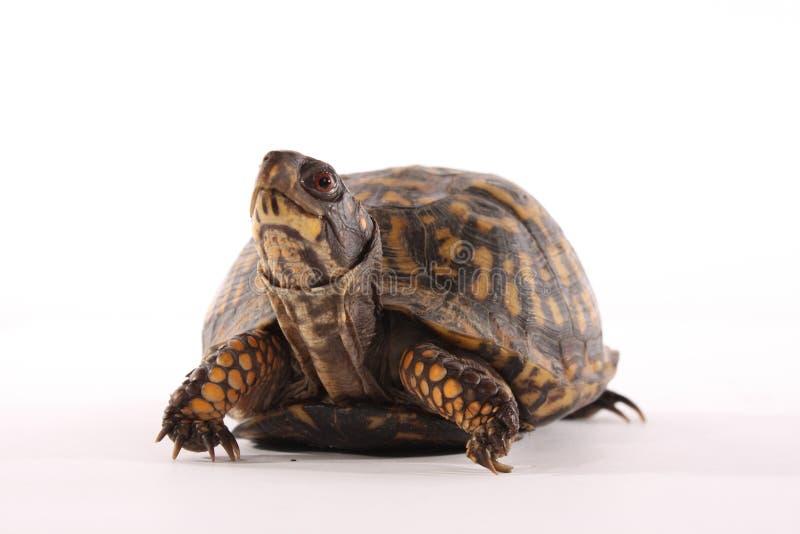 pudełkowaty żółw obraz royalty free
