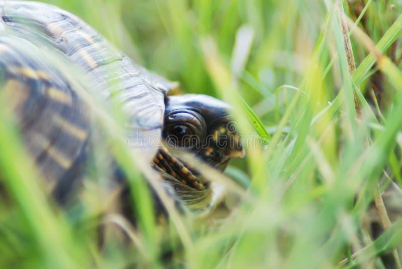 Pudełkowaty żółw osiąga szczyt out zdjęcia stock