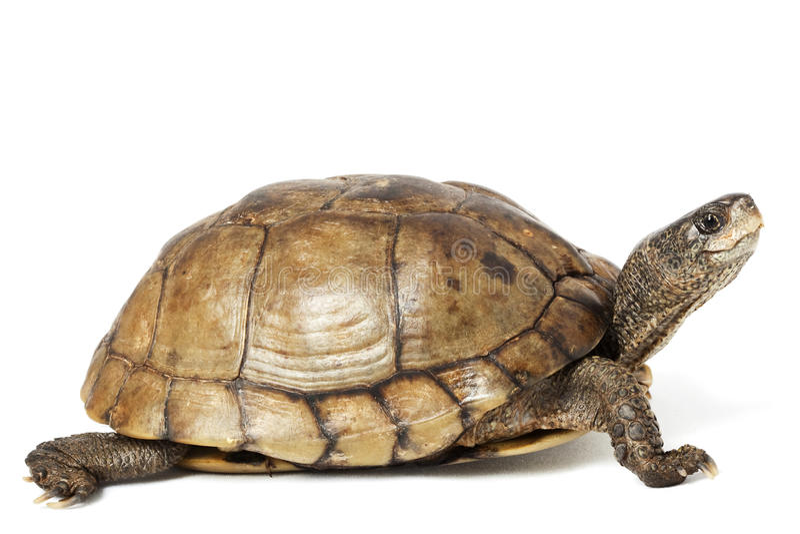 pudełkowaty coahuilan żółw zdjęcie royalty free