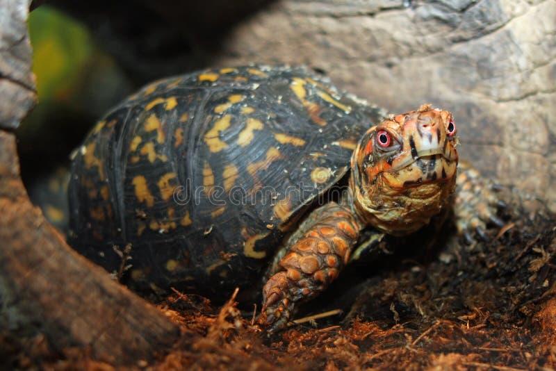 pudełkowaty wschodni żółw zdjęcie royalty free