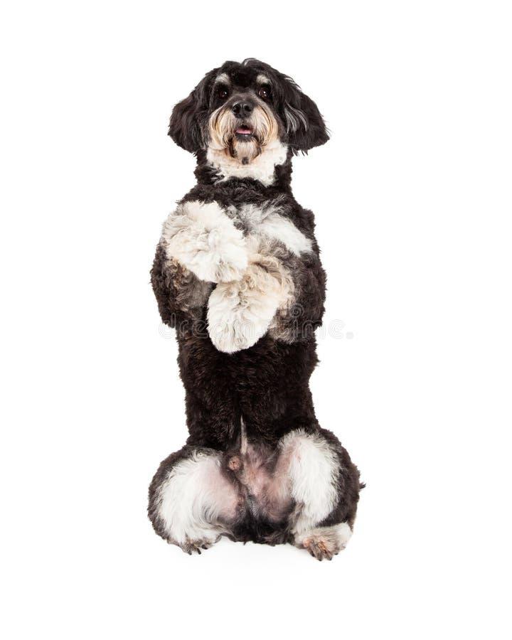 Pudel mieszanki trakenu psa Błagać obrazy royalty free