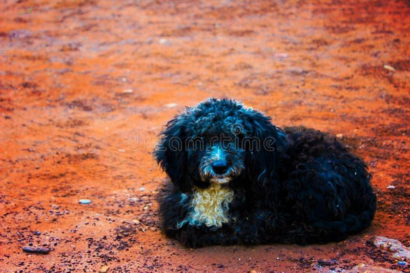 Pudelhund royaltyfria bilder