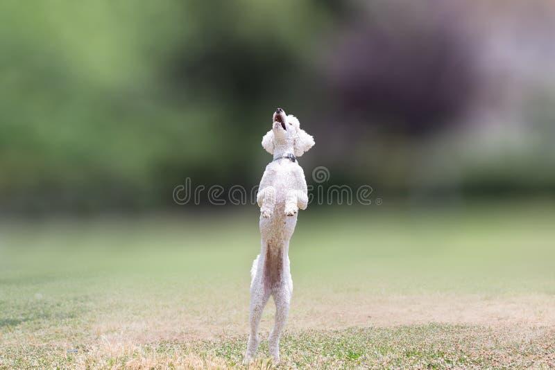 Pudelhund, der an einem Park springt lizenzfreie stockfotos