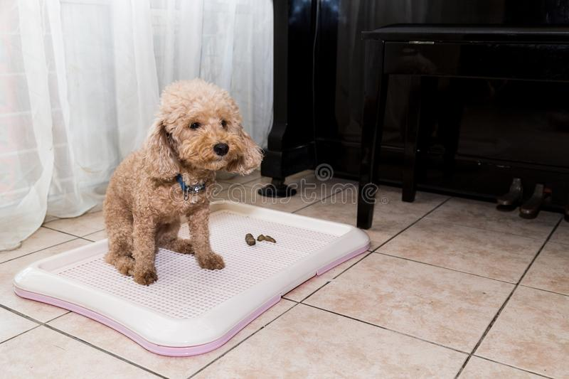 Pudelhund nahe bei Trainingstoilettenbehälter mit Heckexkrementen stockfoto
