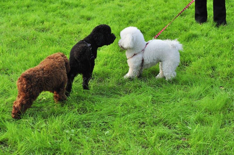 Pudelhunde lizenzfreie stockbilder