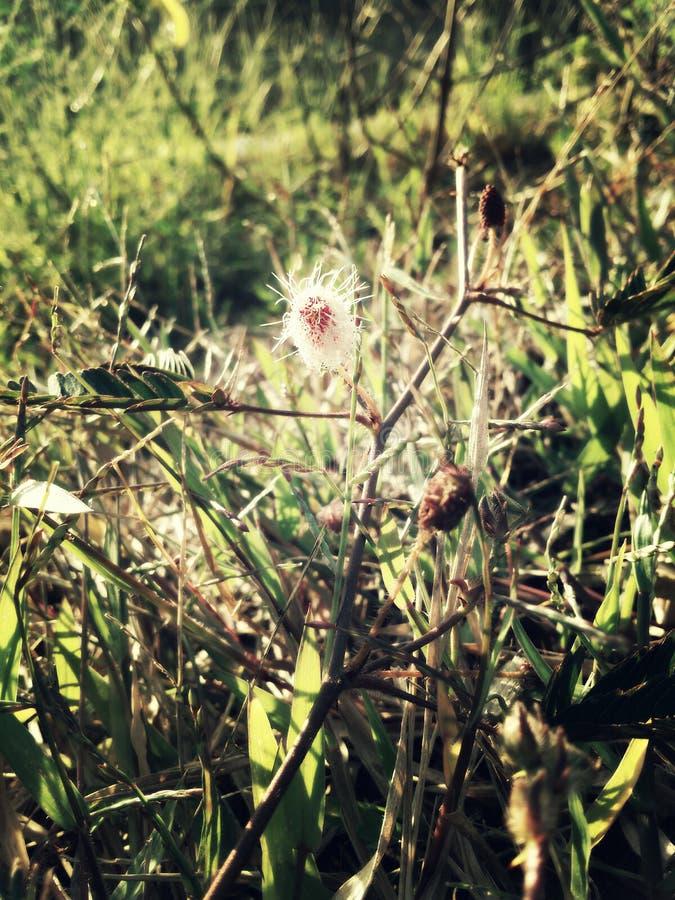 Pudica de la mimosa o planta tímida imagen de archivo libre de regalías