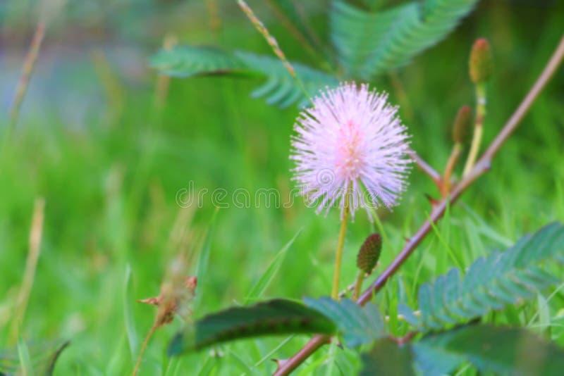 Pudica de mimosa ou rose de fleur d'usine sensible beau en nature image stock