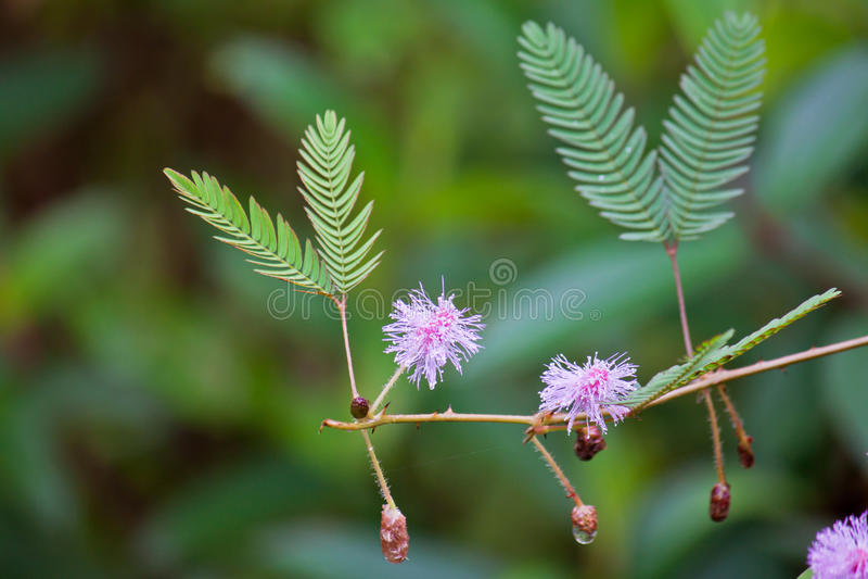 Pudica del Mimosa imagenes de archivo
